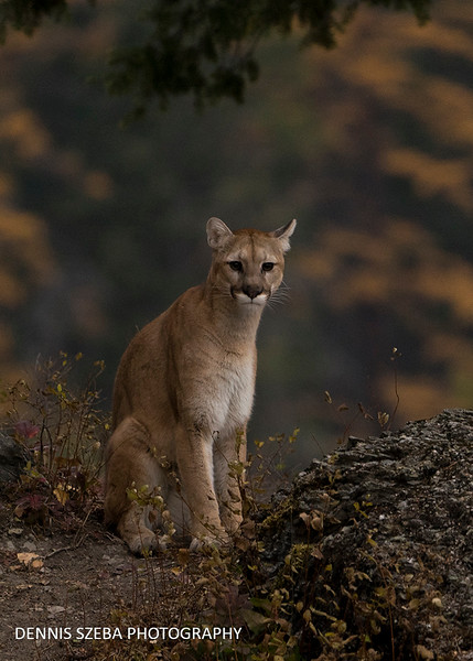 Mountain Lion. Montana 2018