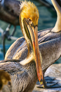 Pelican Attraction