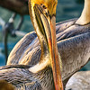 Pelican are so smart, sometimes they look at you, just wondering what are you doing, and  other times, they  turn around and they  don't wast to be photograph.