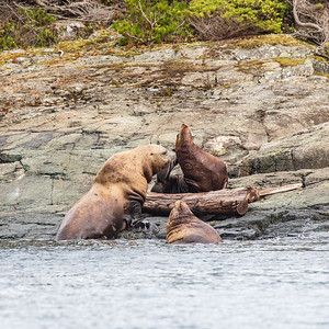 Steller Sea Lions 1