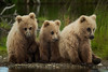 3 Little Bears