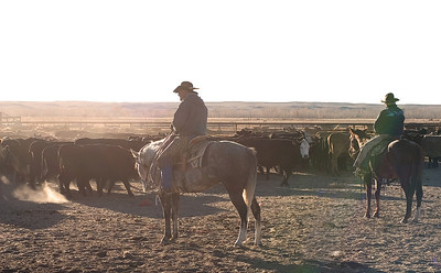 Lone cowboy herding the cattle