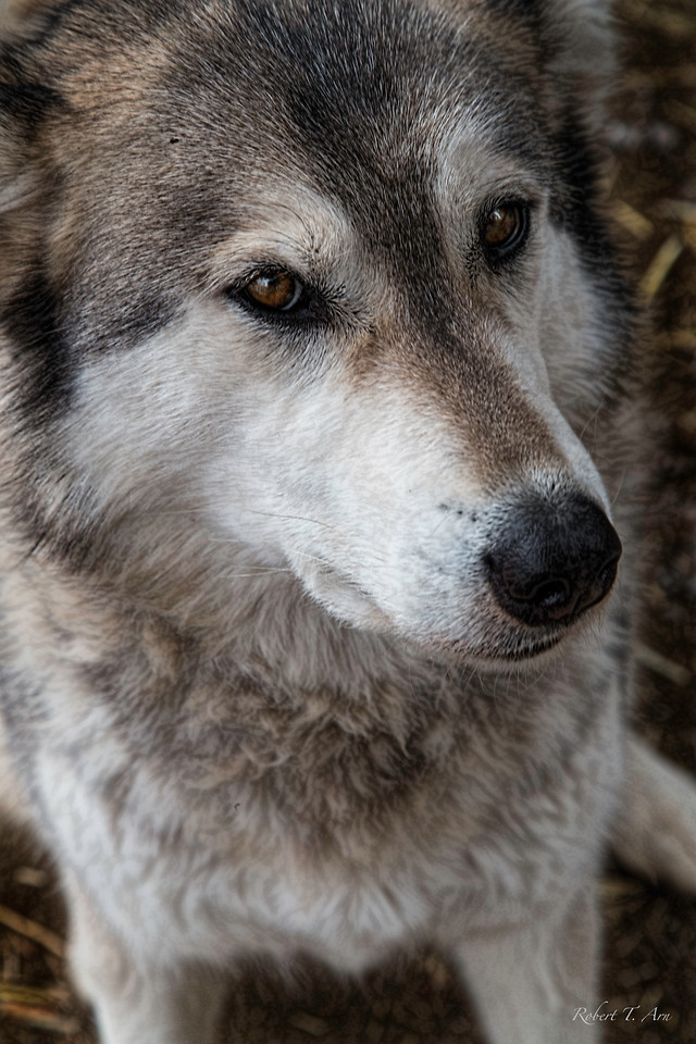 Portrait of a Wolf Number Seven