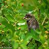 A fledgling in the bush