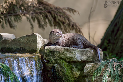 Otter. Scenic riverside wildlife. Picturesque animal lying on rocks by a stream waterfall.