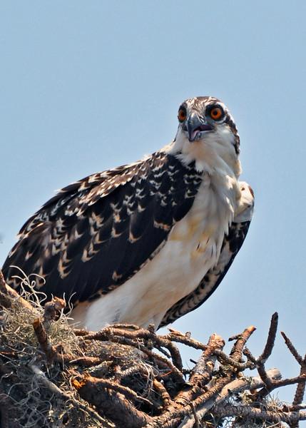 Osprey. Shackleford Banks, NC. 2012