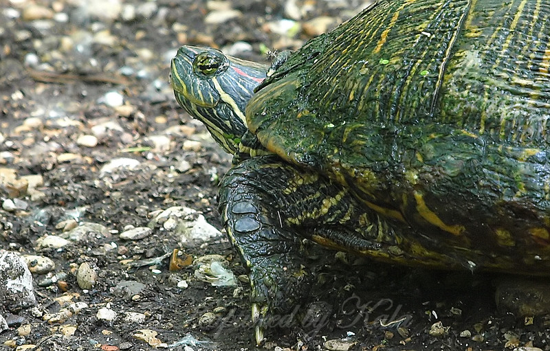 Portrait Of A Red-eared Slider