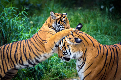 Two young malayan tigers fighting