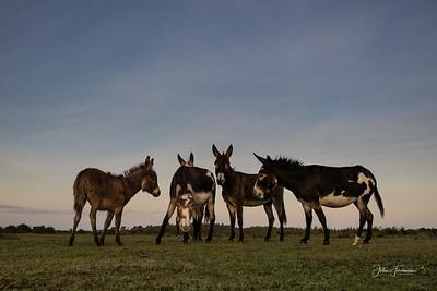 New Forest Donkeys, Hampshire