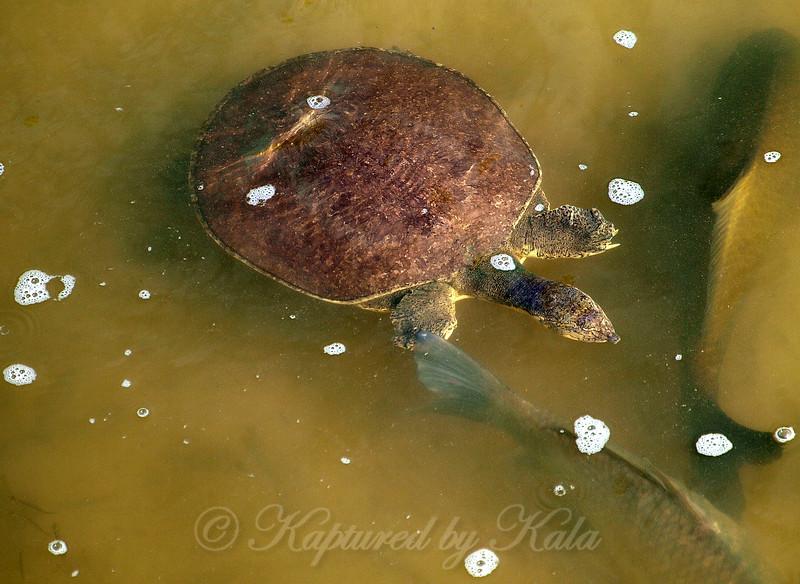 Pallid Spiny Softshell  turtle
