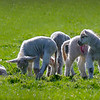 Lambs together