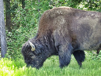 Bison, British Columbia, Canada