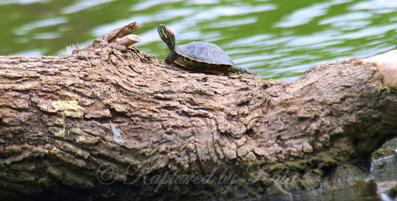 Tiny Turtle, Big Log