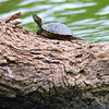 Tiny Turtle, Big Log