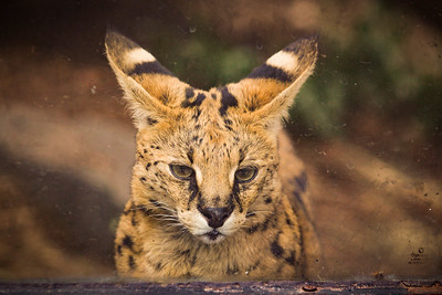 Sad Serval