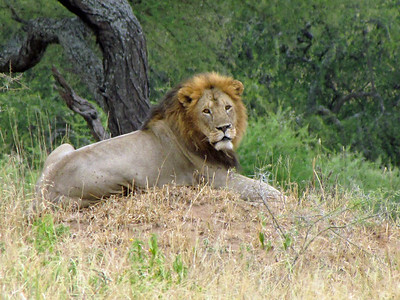 Lion under tree, Serengeti National Park, Tanzania, East Africa