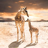 Giraffe_mommy_baby
