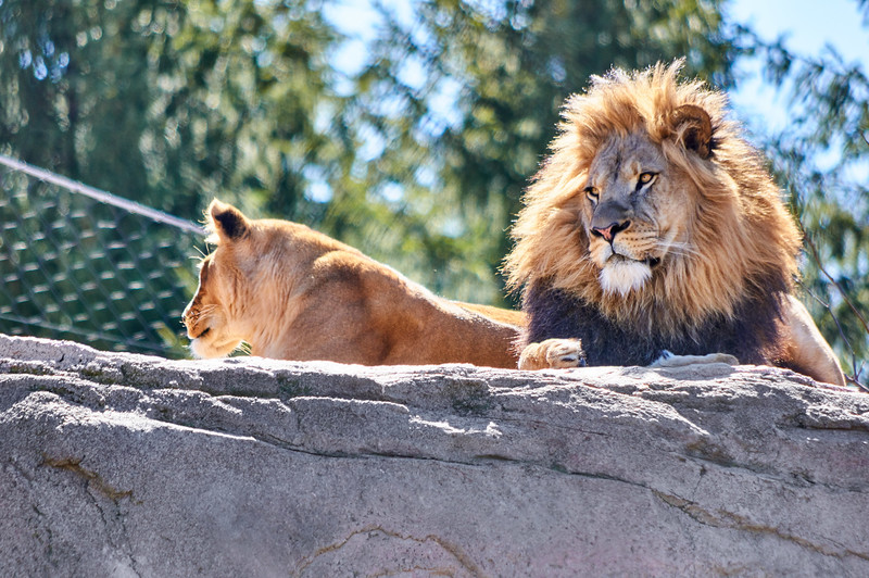 <h1>Lions</h1> <p>Vince Mullen is a photographer in Batavia, NY. See more of my <a>Animals at Convincedimaging.com</a></p>