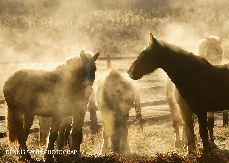 Horses throwing off steam on  a chilly Montana morning. 2018