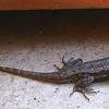 Burleson Lizard