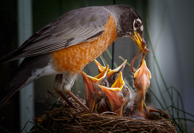 Robin mother