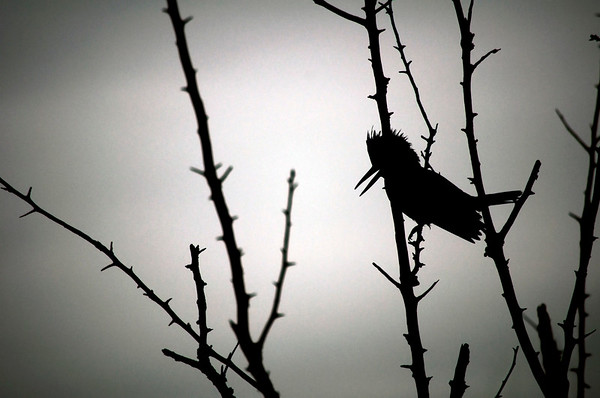 Silhouette of a belted kingfisher (Megaceryle alcyon)