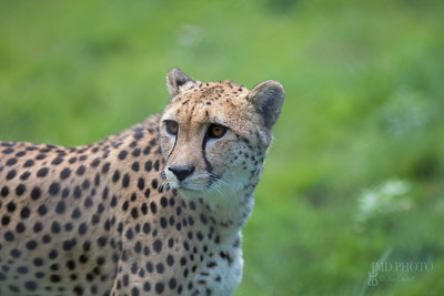Cheetah. Beautiful African wildlife big cat portrait image