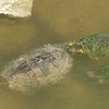 Red-eared Slider Mating Behavior 6