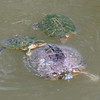 Red-eared Slider Mating Behavior 1