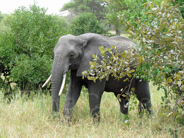 Elephant walking in bush, Tarangire National Park, East Africa