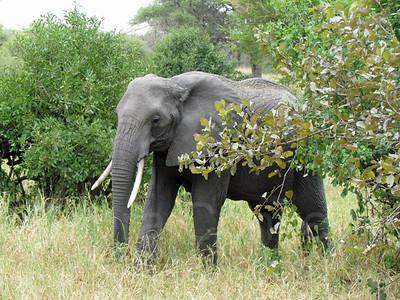 Elephant walking in bush, Tarangire National Park, East Africa