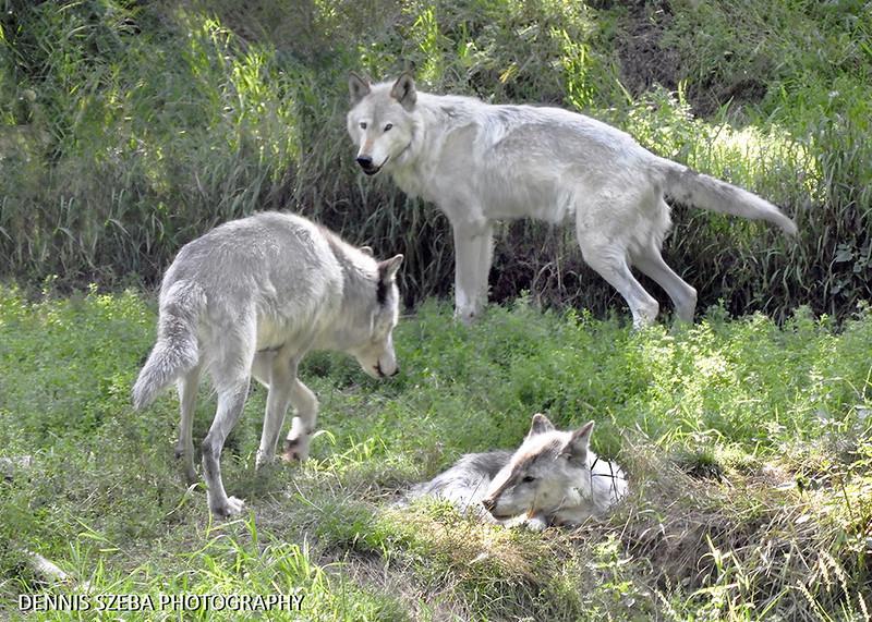 Alaska Gray Wolves 2018