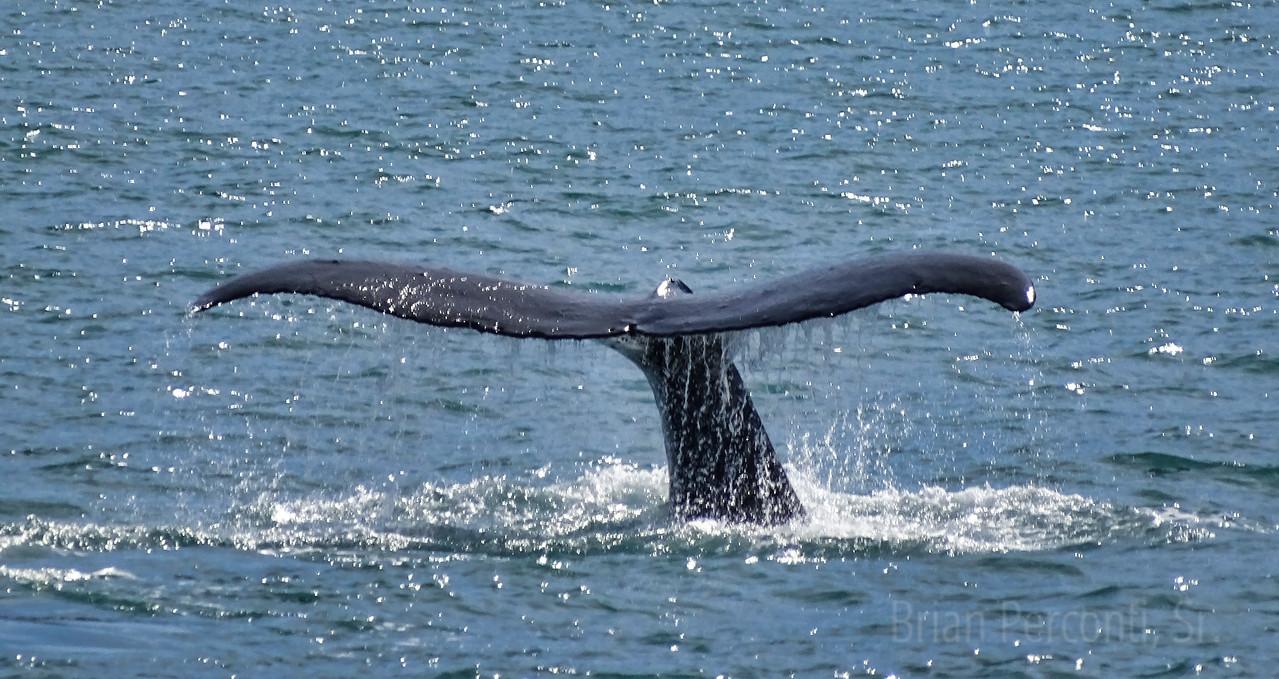 Humpback Whale, Resurrection Bay, Alaska