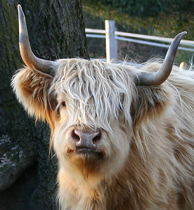 Fluffy Bull