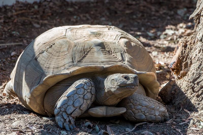 Spur Tortoise