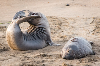 Elephant Seal Pup Stretching