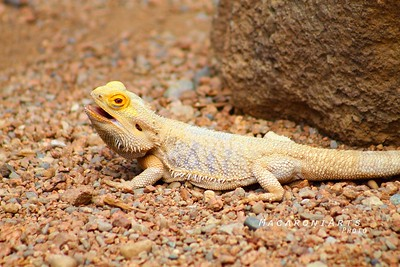 Yellow Spiky Lizard
