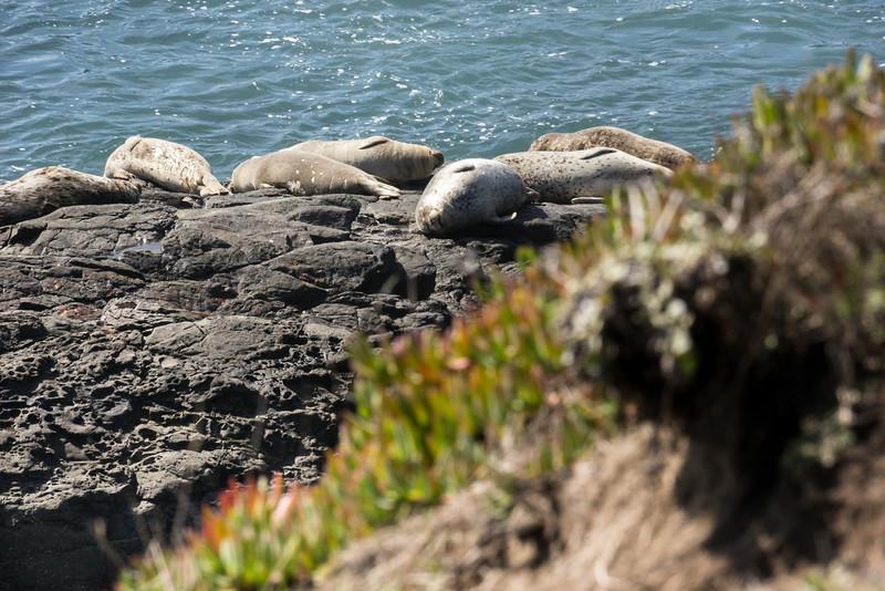 Seals at the Sea Ranch
