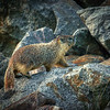 Groundhog on Rocks