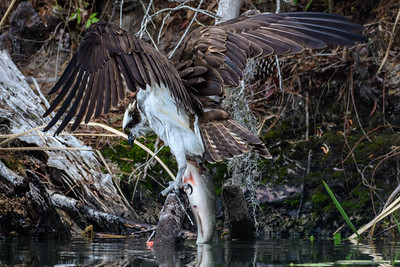 Osprey With A Catch