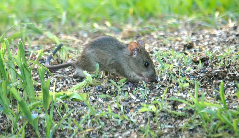 Roof Rat Eating Birdseed