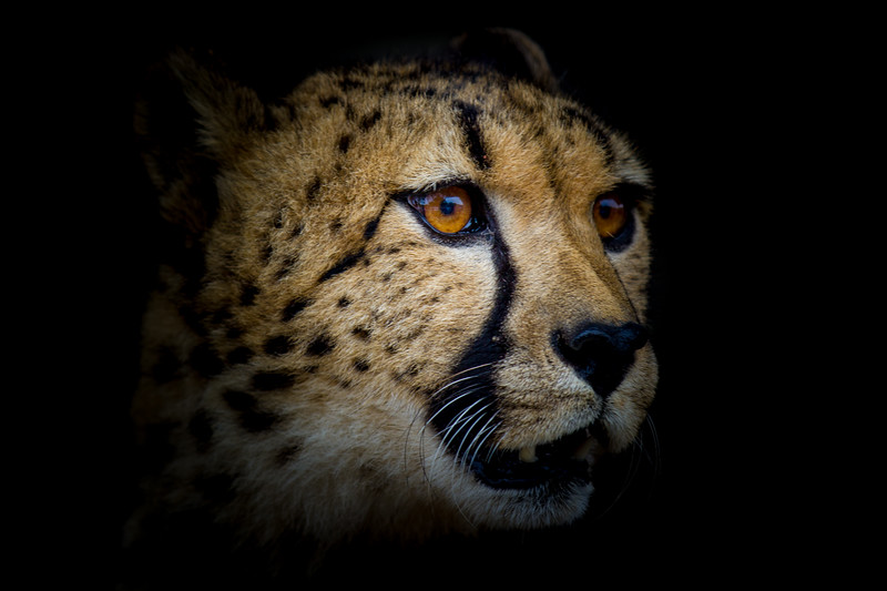 Cheetah - Wildlife