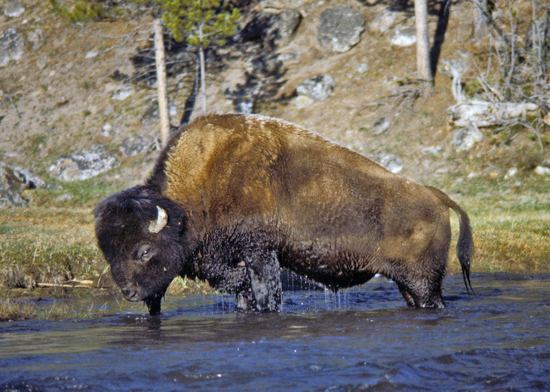 Buffalo. Yellowstone 1980's