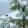 Beautiful red  Northern Cardinal sitting on snowy pine tree branch.