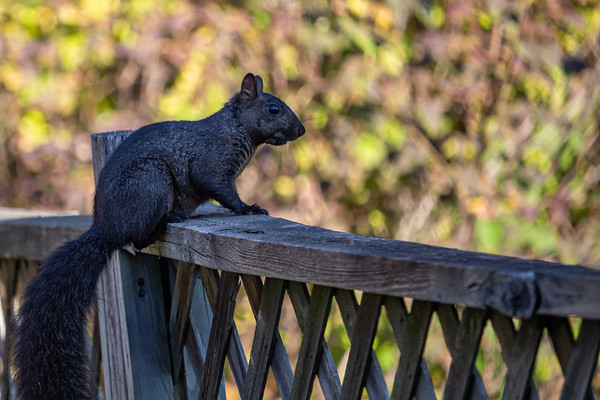 Black Squirrel on a Suburban Fence