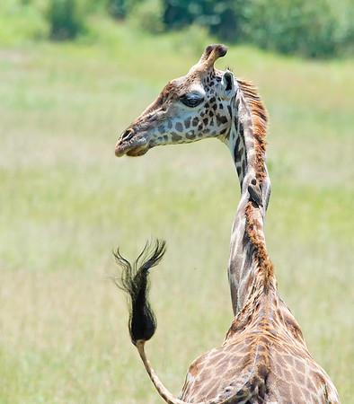 Giraffe, Masai Mara Game Reserve, Kanya
