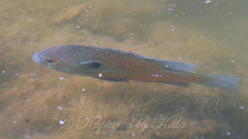 Longear Sunfish #3