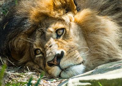 The Mane Guy - Lion