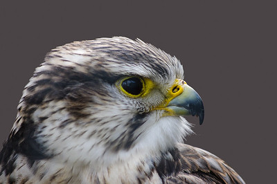Saker falcon profile