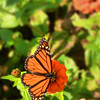 Monarch butterfly drinking nectar from zinnia flower on the spring morning. Charlotte, North Carolina, USA